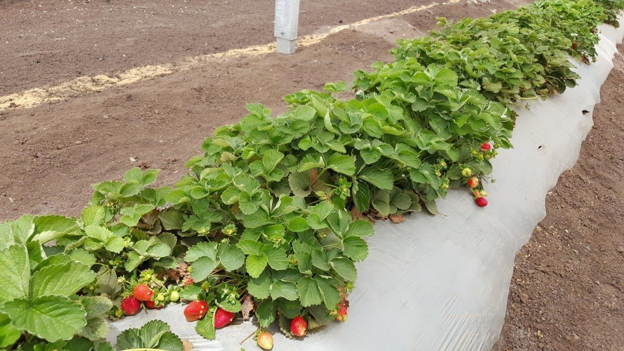strawberries4.jpg